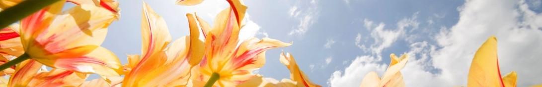 thin tulips